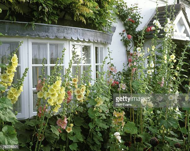 alcea rosea syn althaea rosea ( hollyhocks) around cottage bay windows, august. - hollyhock stock pictures, royalty-free photos & images