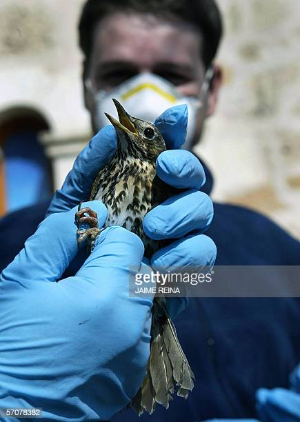 Biologist holds a thrush at the Natural Park of Albufera, on Mallorca Island, Spain, 14 March 2006. Hundreds of millions of birds migrate in the...