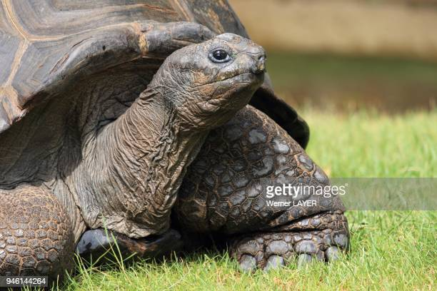Aldabra Giant Land Tortoise, Geochelonia gigantea.