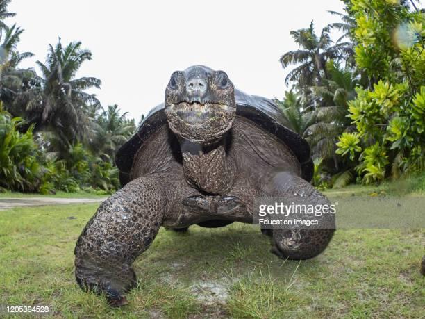 Aldabra Giant Tortoise, Aldabrachelys gigantea, Astove Atoll, Aldabra island group, Seychelles.
