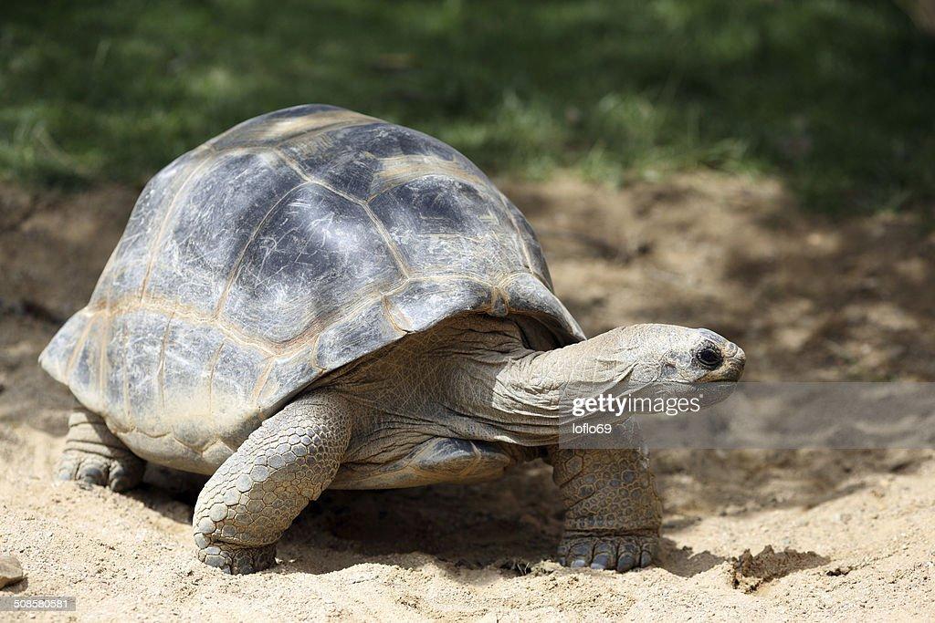 Aldabra giant tortoise, Aldabrachelys gigantea : Stock Photo