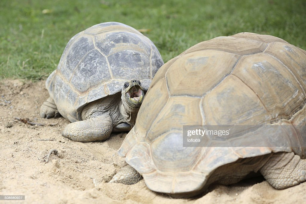 Aldabra-Riesenschildkröte, Aldabrachelys gigantea : Stock-Foto