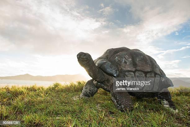 Aldabra giant tortoise at edge of beach