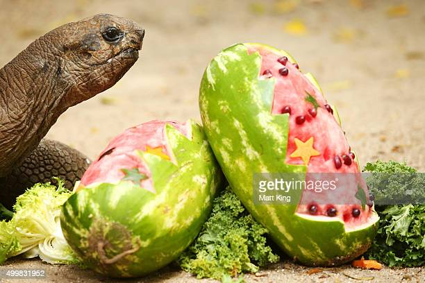 Aldabra Giant Tortoise eats at Taronga Zoo on December 4, 2015 in Sydney, Australia. Taronga's animals were given special Christmas-themed enrichment...