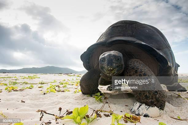 Aldabra giant tortoise on beach
