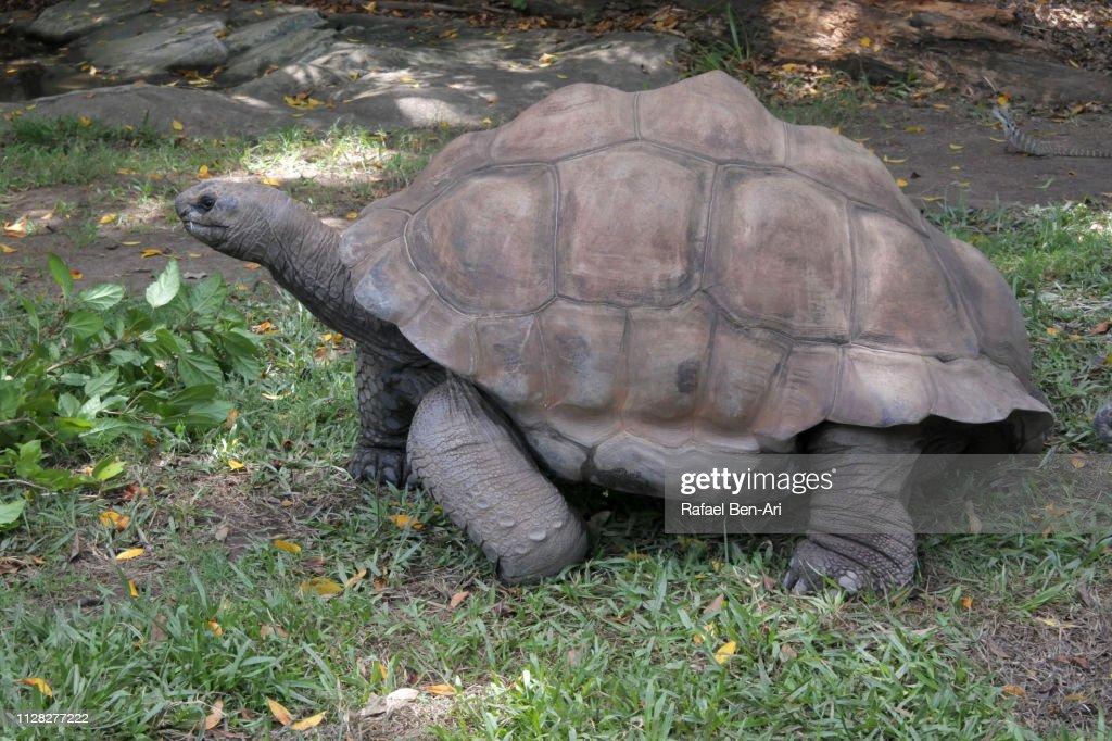 Aldabra giant tortoise : Stock Photo