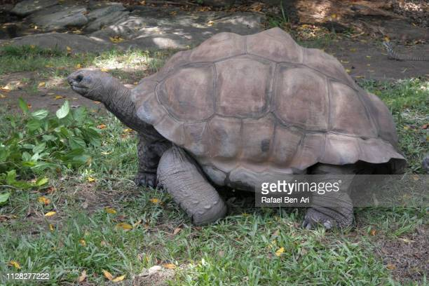 aldabra giant tortoise - rafael ben ari stock pictures, royalty-free photos & images