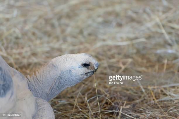 aldabra tortoise_1 - ian gwinn stock-fotos und bilder