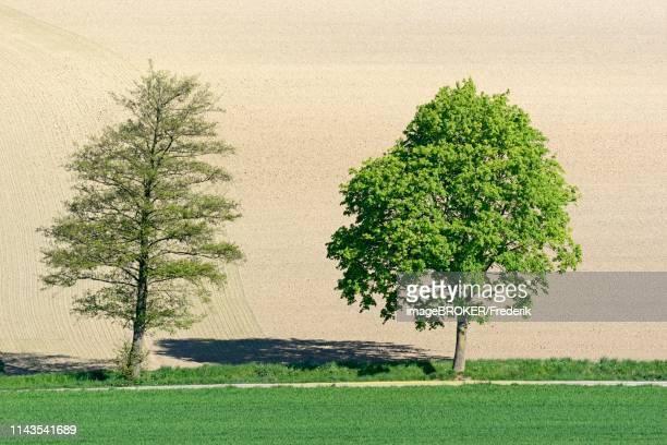 alder (alnus) and maple (acer) at the wayside in the field, cultural landscape, north rhine-westphalia, germany - erle stock-fotos und bilder