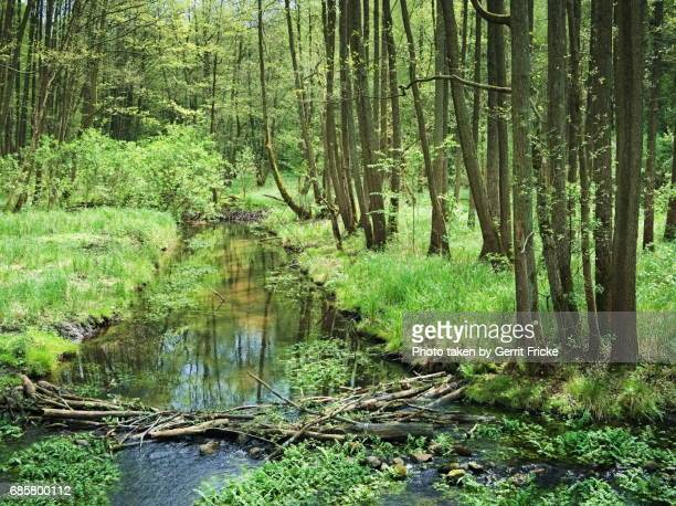 Alder Forest, Trees And A Creek