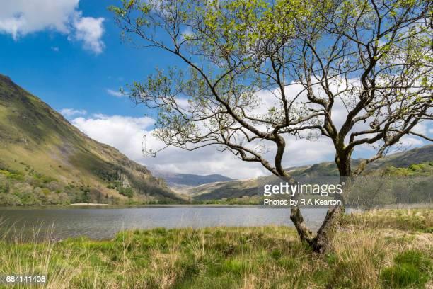 Alder tree beside Llyn Gwynant, Snowdonia national park, North Wales