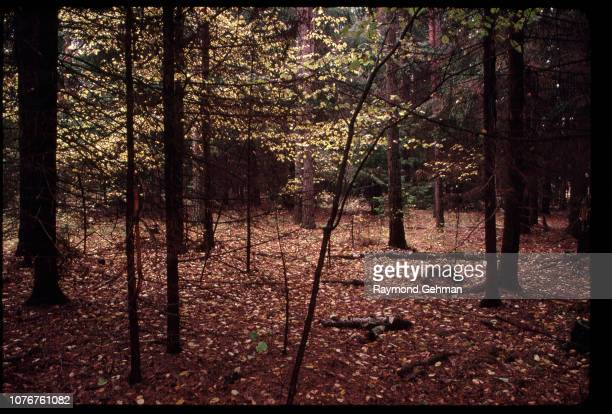 Alder Trees in Fall