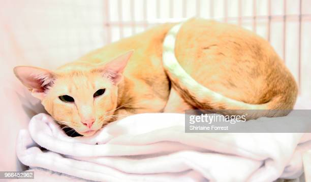 Alderstar Andro, an apricot shorthair oriental is seen at Merseyside Cat Club GCCF all breeds championship show at Sutton Leisure Centre on June 2,...