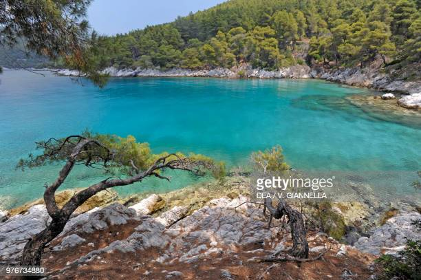 Aleppo pine in Cape Amarandos, Skopelos Island, Northern Sporades, Greece.