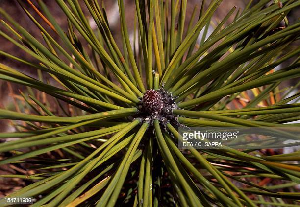 Aleppo Pine leaves and inflorescence Pinaceae