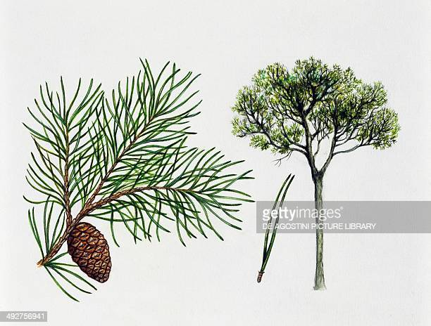 Aleppo pine Pinaceae tree leaves and fruit illustration