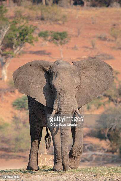 alert african elephant in chobe river - elephant face stock photos and pictures