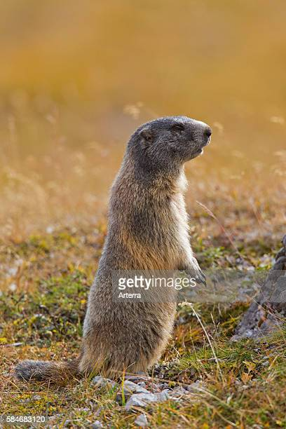 Alert Alpine Marmot on the look-out standing upright on hind legs .
