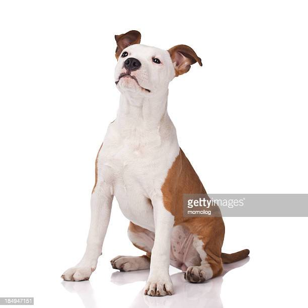 Alert American Staffordshire Terrier in obedience training