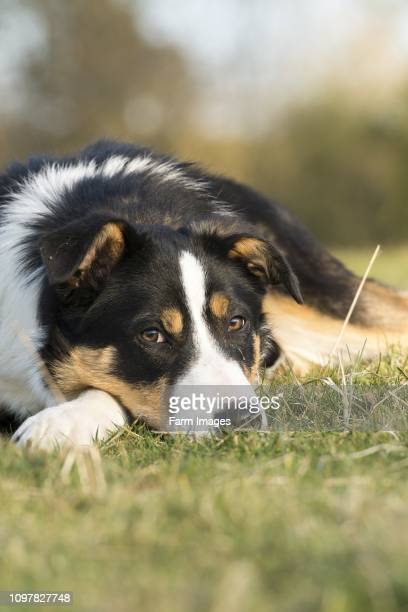 Alert black white and tan Border Collie sheepdog pup 6 months old Yorkshire UK