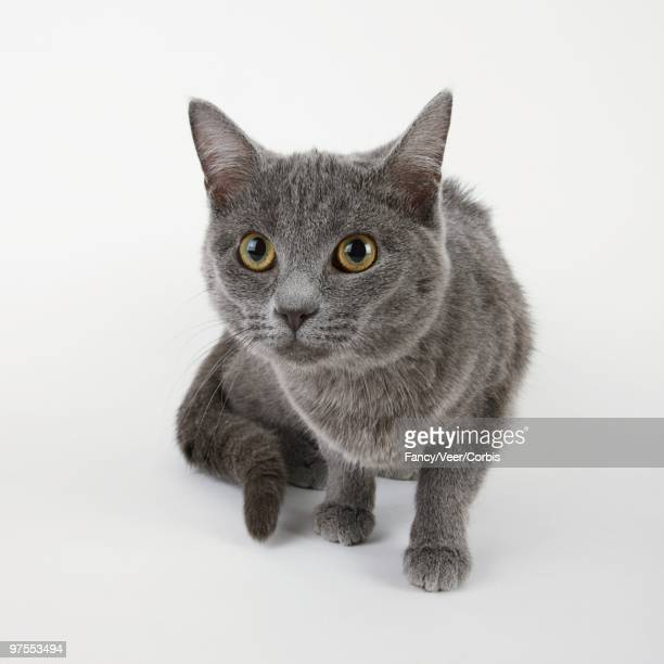 alert cat - russian blue cat stock pictures, royalty-free photos & images