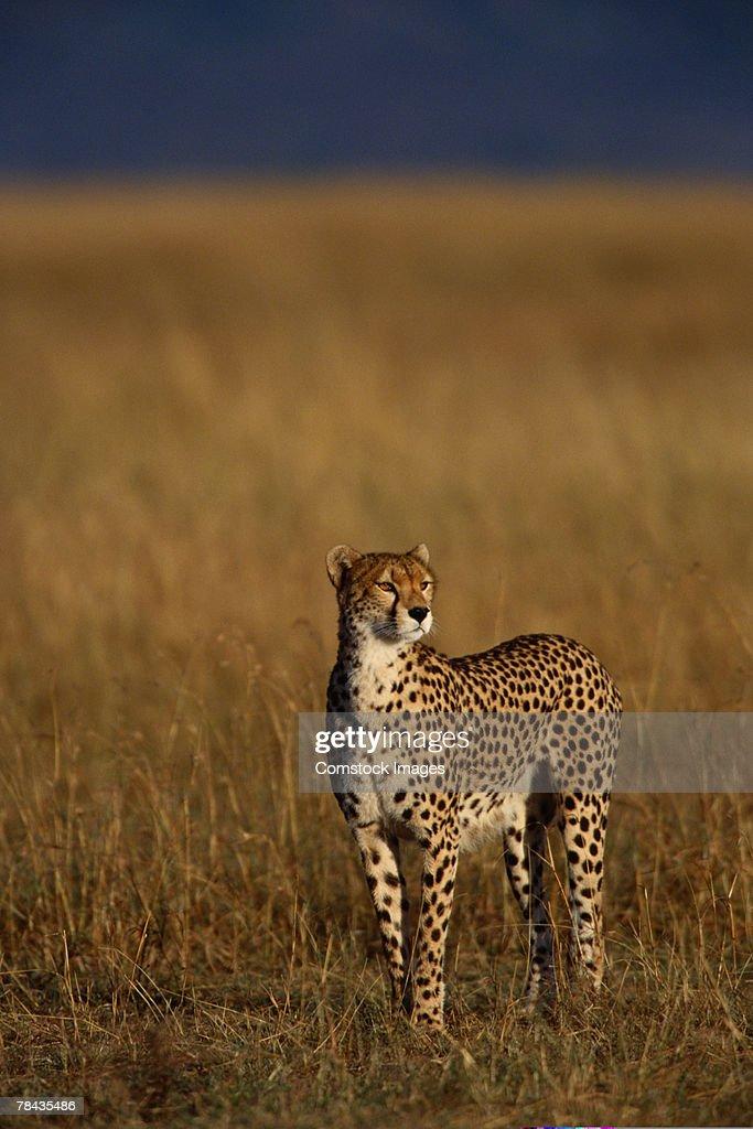 Alert cheetah in grasslands , Kenya , Africa : Stockfoto