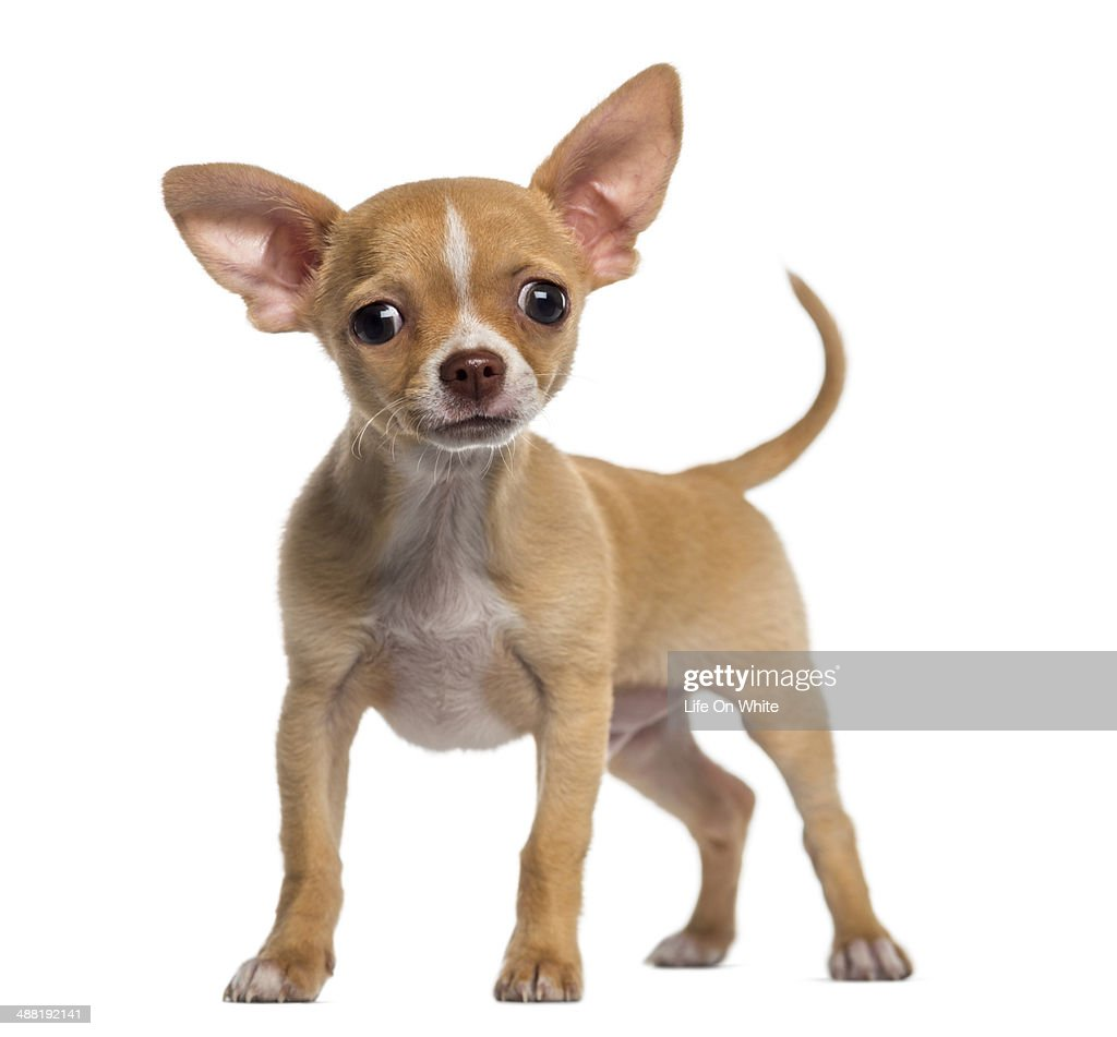 alert Chihuahua puppy (3 months old) : Stock Photo