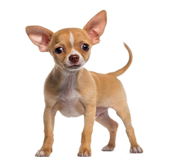 Alert Chihuahua Puppy (3 Months Old) Wall Art