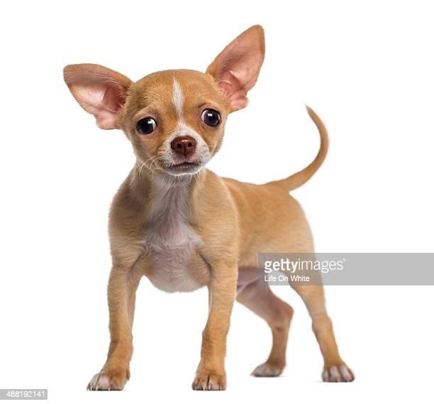 alert chihuahua puppy (3 months old) - chihuahua raça pura - fotografias e filmes do acervo