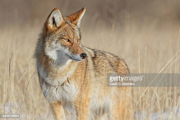 alert coyote survey surroundings in beautiful light - coyote stock pictures, royalty-free photos & images