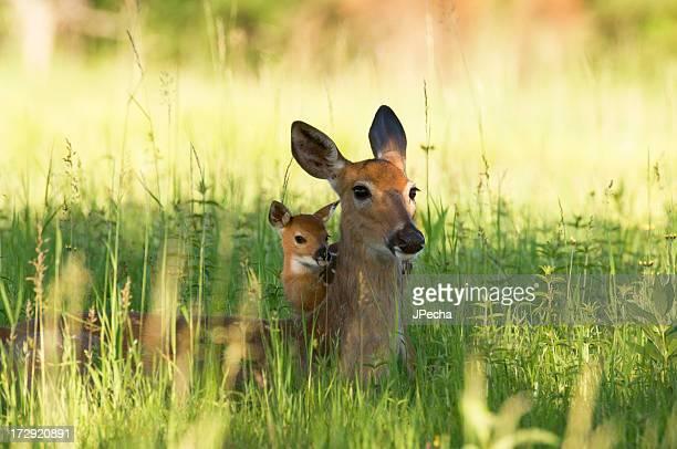 Alert Doe und Rehkitz verstecken im Gras