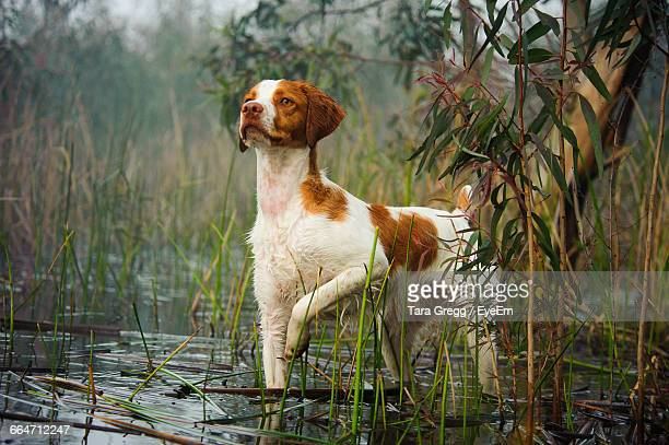 alert dog in shallow water looking away - brittany spaniel stock pictures, royalty-free photos & images