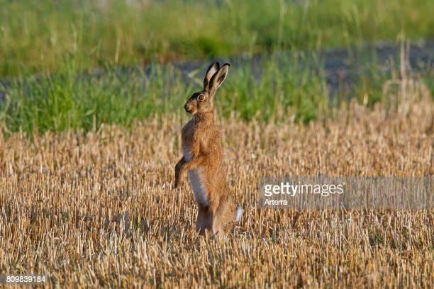 Alert European brown hare standing upright in stubblefield