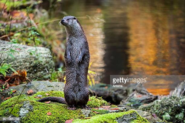 Alert European River Otter standing upright on hind legs on riverbank