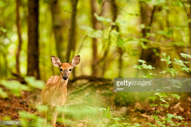 alert fawn - fawn stock photos and pictures
