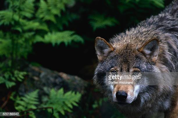 alert grey wolf hunting - animals in the wild stock pictures, royalty-free photos & images