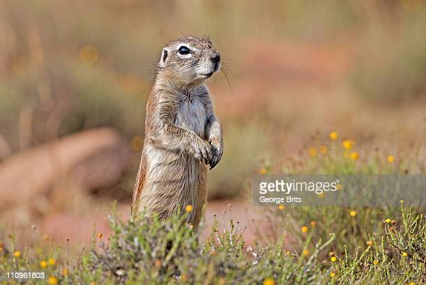 Alert Ground Squirrel, Mountain Zebra National Park, Eastern Cape Province, South Africa