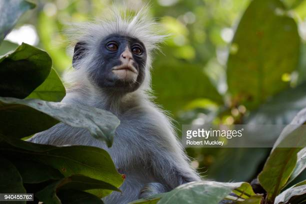 alert - kirk's red colobus - safari animals stock pictures, royalty-free photos & images