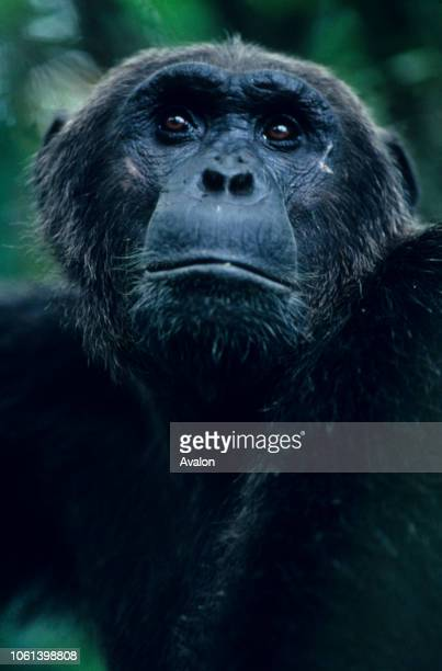 Alert Male chimpanzee at Mahale National Park Tanzania Date 250608