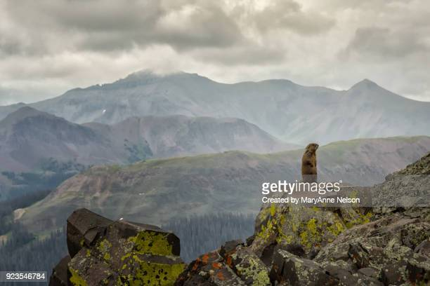 alert marmot on a rock with mountains - woodchuck stock pictures, royalty-free photos & images