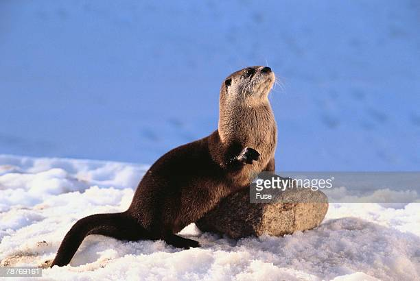 alert river otter - river otter stock pictures, royalty-free photos & images