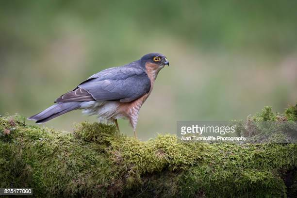 alert sparrowhawk - sparrow hawk stock pictures, royalty-free photos & images
