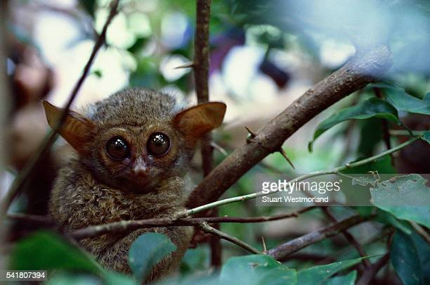 Alert Tarsier on Tree Branch