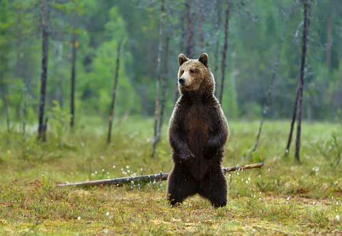 Alerted Eurasian brown bear standing on hind legs on a rainy day in swamp 1056413722