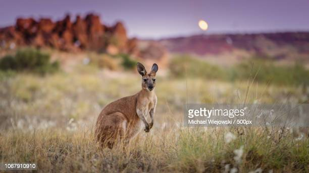 alerted kangaroo standing in grass and looking at camera - kangaroo stock pictures, royalty-free photos & images