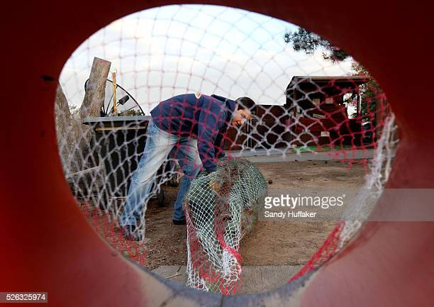 Alessandro Gallon wraps a Christmas Trees to be taken home by car at a farm on Highland Valley Road in Ramona on Friday Dec 2 2011 Millions of...