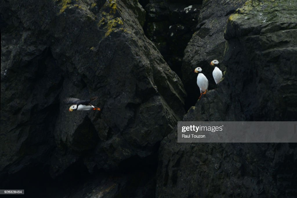 Horned puffins nesting in cliff. : Stock Photo