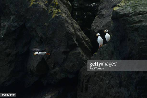Horned puffins nesting in cliff.