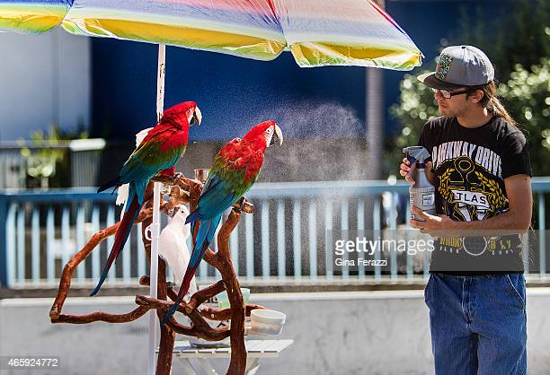 Alex Hurtado spritzes red parrots and white cockatoos with water to keep them cool at Palisades Park near the Santa Monica Pier where exotic bird...
