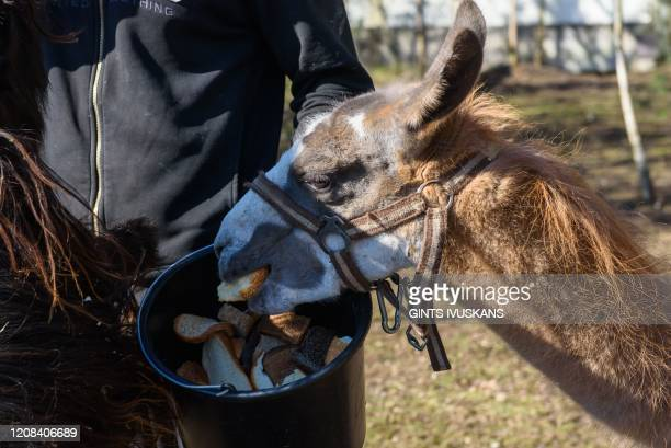 Alex Polach coowner of the Cirkus Alex circus feeds a llama on March 25 2020 in Stopini Latvia where the circus from Czech Republic is stuck due to...